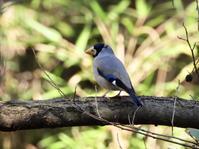 イカル、カシラダカ、ルリビタキ他@自然環境保全センター自然観察園 - 青爺の野鳥日記