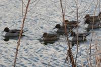 ぷかぷか・寒々・・水鳥たち - Nature World & Flyfishing