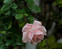ボタニックガーデンで~ 冬のバラなどを ~ - 星の小父さまフォトつづり
