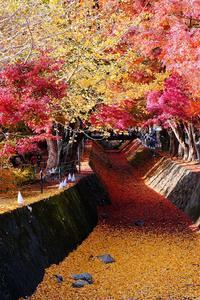 もみじ回廊(河口湖) - くろちゃんの写真