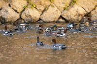 京都鴨川の水鳥 - チョウ!お気に入り