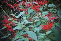 フェイジョア収穫:フェイジョア・ジェリーの作り方 - 世話要らずの庭