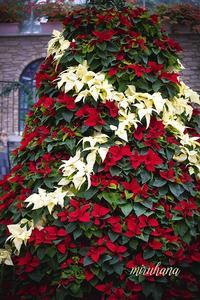 Poinsettia*はままつフラワーパーク - MIRU'S PHOTO