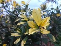 黄金ホーリー - だんご虫の花