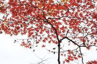 赤いモミジ - 心 色