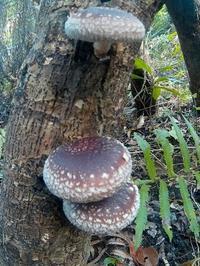 年内の営業のお知らせと原木栽培椎茸と奄美産パイナップル - チルチルCafe&野遊び