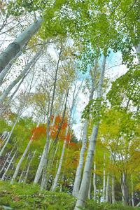 恋する白樺林は、まだ、初恋、 - きまぐれ*風音・・kanon・・