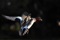 鳥は飛んでいるときが一番美しい - スポック艦長のPhoto Diary
