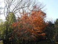 秋が長~~く楽しめています。 - 柴まみママの大多喜便り