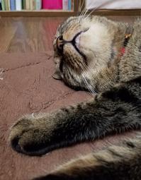 寝姿 - キジトラ猫のトラちゃんダイアリー