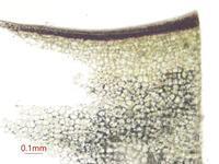 アボカド - 植物顕微鏡写真 保管庫