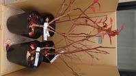 新規ブルーベリー苗入荷、鉢植え替え - 初めてのブルーベリー栽培記