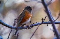 未確定(オオアカハラ) - 野鳥などの撮影記録