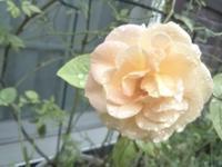 マノン ~美しさは儚いもの?~ - 美鈴とトラと私とお庭