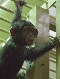 ロジャー、コイコさんに遊んでもらう[京都市動物園] - a diary of primates