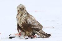 砂崎岬のその他猛禽・・ケアシノスリ - アイヌモシリの野生たち  獣と野鳥の写真図鑑