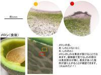 メロン - 植物顕微鏡写真 保管庫
