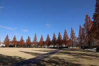 メタセコイアの紅葉 (2019/12/13撮影) - toshiさんのお気楽ブログ