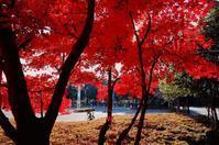 令和元年最後の紅葉♪・・・太田イオンモールの植栽の中で唯一絶品の紅葉が将に見頃だった - 『私のデジタル写真眼』