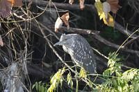 ゴイサギ幼鳥 - 阪南カワセミ【野鳥と自然の物語】