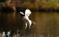 急襲するオオタカ幼鳥の狩り、成功か?否か。誠 - 皇 昇