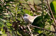 コノドジロムシクイ - 鳥撮りDAIRY