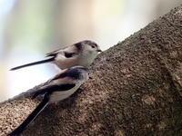 頭上にエナガの群れが - コーヒー党の野鳥と自然パート3