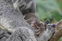コアラ「クイン」の赤ちゃん、顔を出す!(埼玉県こども動物自然公園) - 続々・動物園ありマス。