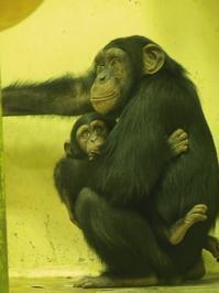 兄弟[京都市動物園] - a diary of primates