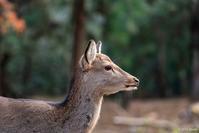 いつぞやの奈良公園2 - toshi の ならはまほろば