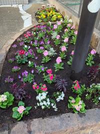 冬の花にチェンジ、スカーレット。 - 花の庭づくり庭ぐらしガーデニングキララ