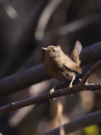 藪から出てきたミソサザイ - コーヒー党の野鳥と自然パート3
