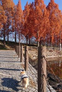 てつじぃちゃんと朝散歩 - C-style*シニア犬お散歩ブログ