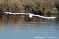 蓮田のヘラサギ - 気ままに野鳥観察