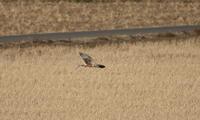 田んぼでの飛翔(チュウヒ) - 私の鳥撮り散歩