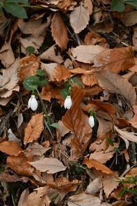 早咲きのスノードロップ2019年12月 - 光画日記2