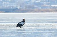 氷上のオオワシ - 新 鳥さんと遊ぼう