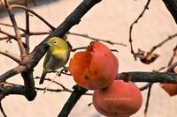 柿とメジロのコラボは冬の風物詩かな(^^♪ - 自然のキャンバス