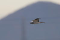ハイイロチュウヒその12(飛翔) - 私の鳥撮り散歩