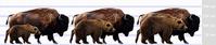 ヒグマとバイソンの対戦事例 - アニマル情報202X