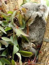 王子コアラ舎は赤ちゃんいっぱい その1~祝オウカちゃんの初めての赤ちゃん - こらくふぁーむ