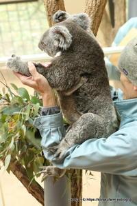 王子コアラ舎は赤ちゃんいっぱい その2~ウメちゃんの赤ちゃん - こらくふぁーむ