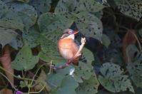 カワセミ・・・早朝から - 阪南カワセミ【野鳥と自然の物語】