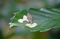 ルーミスシジミ台風禍の房総で - 蝶のいる風景blog