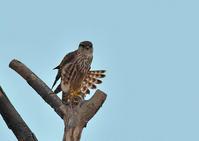 裏庭のマスコットガール② - 今日も鳥撮り