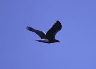 12月27日尾岱沼へオオワシオジロワシ - フクちゃんのフライ日記