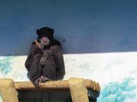 クリスマスイブのチンンパンジー達[天王寺動物園] - a diary of primates