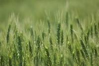 小麦の穂 きれいだな - 空ヤ畑ノコトバカリ