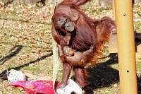 1月の多摩~ボルネオランウータンの赤ちゃん「ロキ」と冬の動物たち - 続々・動物園ありマス。