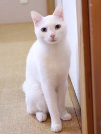 猫のお留守番 さすけくん編。 - ゆきねこ猫家族